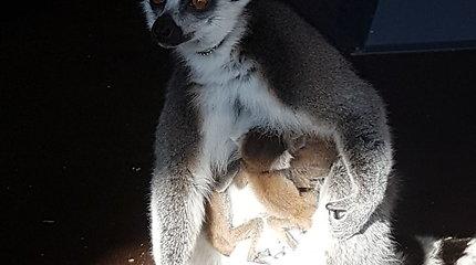 Vilniaus zoologijos sode – du lemūrų jaunikliai