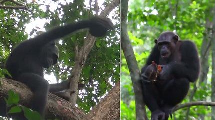 Mokslininkai to nesitikėjo – liko nustebinti šimpanzių išradingumu