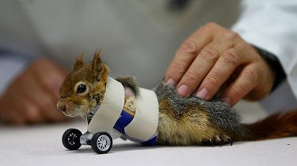Netekusi priekinių letenėlių voverė vėl striksi – jai sukurti pirmieji proteziniai ratai