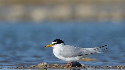 Upinių ir mažųjų žuvėdrų apsaugos labui