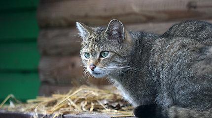 Tarptautinę kačių dieną Lietuvos zoologijos sodas kviečia susipažinti su miškinių kačių šeima