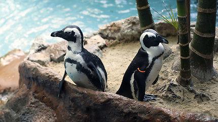 Išgelbėti pingvinai, nelegaliai laikyti kaip augintiniai