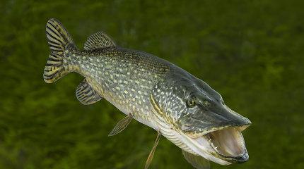 Dėl žuvininkystės ūkiuose į vandenį pilamo mėšlo Žaliųjų partija kreipėsi į institucijas