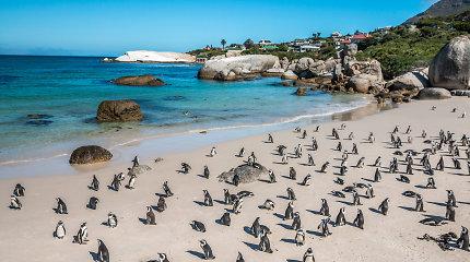 Turistų numylėtų Afrikos pingvinų mirties priežastis nustebino net mokslininkus