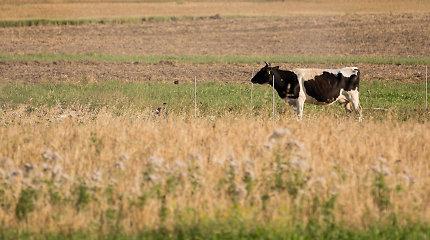 ŽŪM: didėja susietoji parama už pienines karves