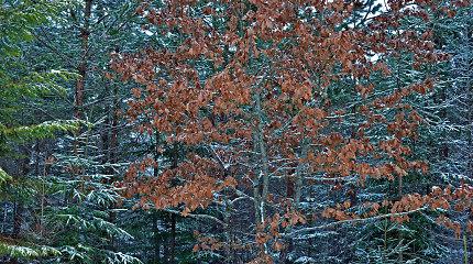 Kodėl kai kurie ąžuolai žiemą nenumeta sudžiūvusių lapų?