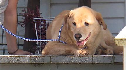 Neįtikėtina istorija: labradorė sukorė per 80 kilometrų, kad grįžtų atgal į savo senuosius namus