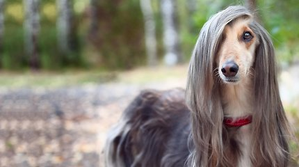 Šunų kirpėja – apie kailio priežiūrą parodoms ir veislę, kurios paruošimas užtrunka net 6 valandas