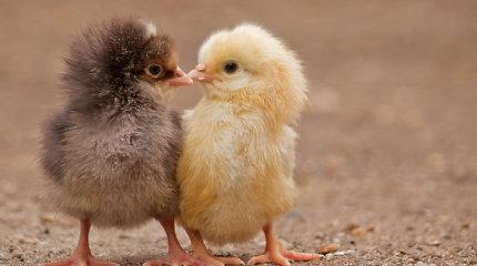 Iš Gruzijos sąvartyne išmestų kiaušinių išsirito tūkstančiai viščiukų