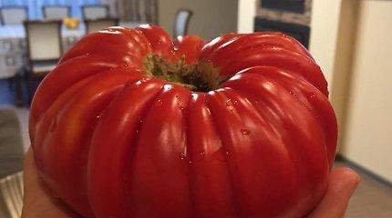 """Daugiau nei 0,5 kg pomidorą užauginusi kaunietė: """"Šiltnamį turime pirmus metus"""""""