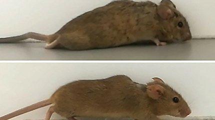 Paralyžiaus gydymo revoliucija? Pelė pradėjo vaikščioti po visiškos nugaros smegenų traumos