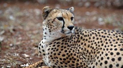 Jungtiniuose Arabų Emyratuose uždrausta privačiai laikyti laukinius gyvūnus