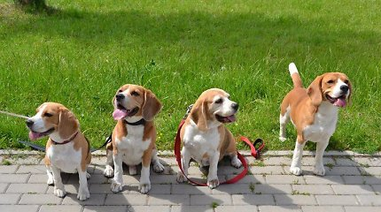 "Biglių klubo prezidentė J.Gegelienė: ""Biglis – šuo, kuris myli visus, net vagis"""