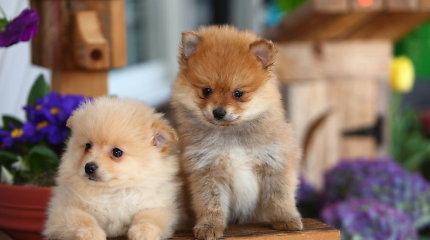 Kokios veislės šunys šiandien populiariausi?