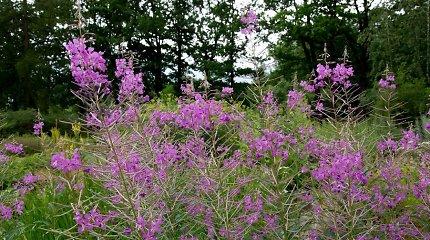 Siauralapis gaurometis – itin naudingas vaistinis augalas sveikatai gerinti