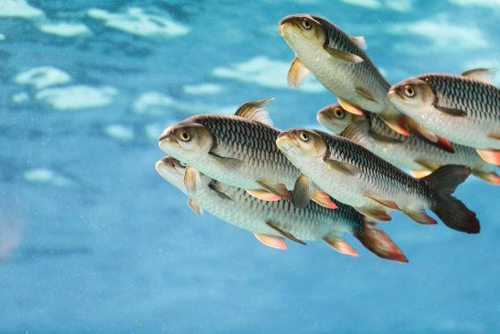 Shutterstock nuotr./Vandenyje plaukiojančios žuvys