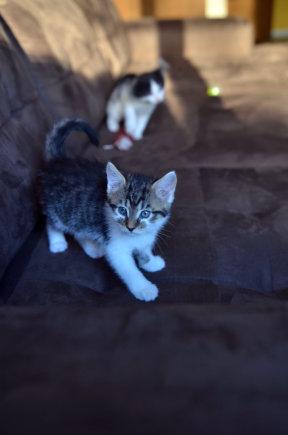 Dovanojamos dvi, kaip paukštukai mažos, katytės