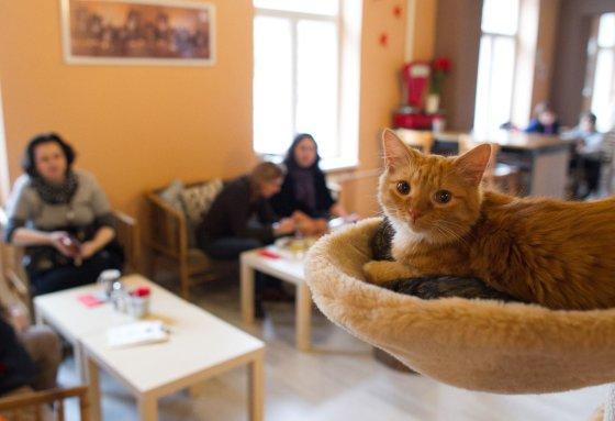Irmanto Gelūno/15min.lt nuotr./Vilniuje duris atvėrė kačių kavinė – lankytojams kompaniją palaiko net 9 murkliai.