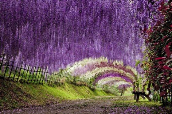 Asikagos gėlių parke Japonijoje žiedų tikrai netrūksta. Pavadinimas