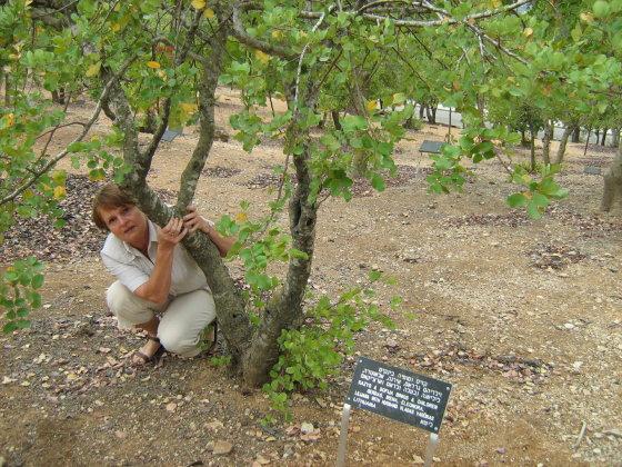 Iga Makutėnienė prie šeimos medžio Izraelyje
