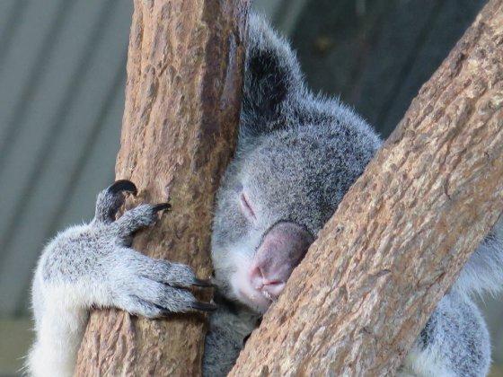 """Facebook"" nuotr./Koala"