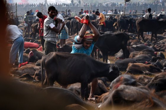 "AFP/""Scanpix"" nuotr./Gyvūnų skerdimo festivalis Nepale"