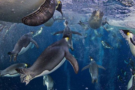 """Reuters""/""Scanpix"" nuotr./Karališkieji pingvinai"