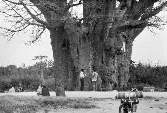 Asmeninio archyvo nuotr./Kazys Almenas prie baobabo