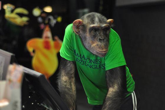 Artūro Čiužo nuotr./Šimpanzė Džonis dirbo kino teatre