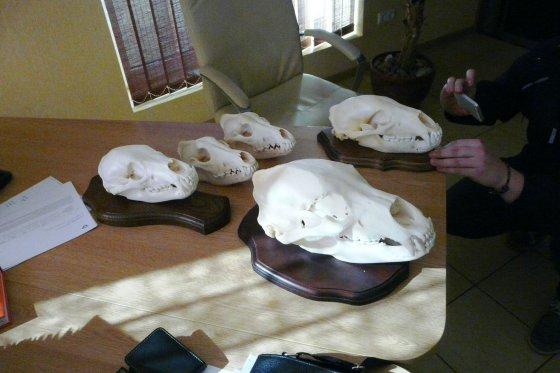 Aplinkos ministerijos nuotr./Gyvūnų kaukolės