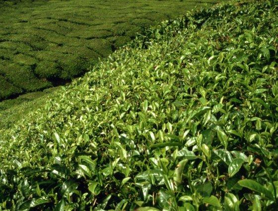 123rf.com nuotr./Kamerono aukštumų plantacijos