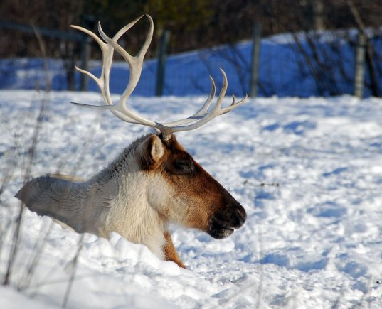 123rf.com nuotr./Šiaurės elniai Kanadoje