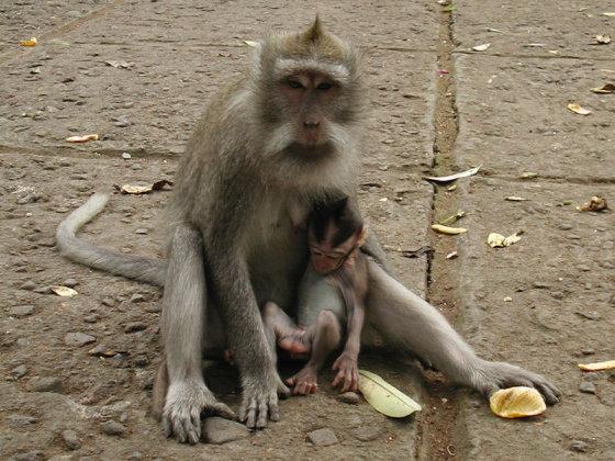 wikimedia.org nuotr./Beždžionių miškas