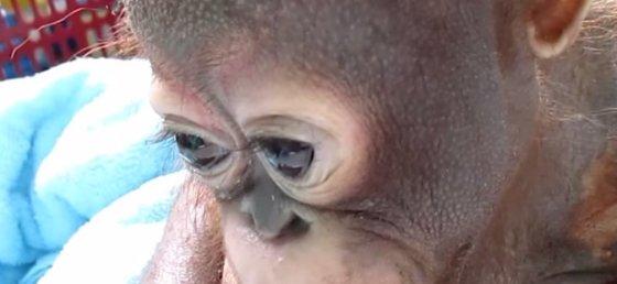Kadras iš filmuotos medžiagos/Liūdnas orangutangas