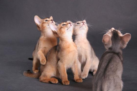 Fotolia nuotr./Abisinijos kačiukai