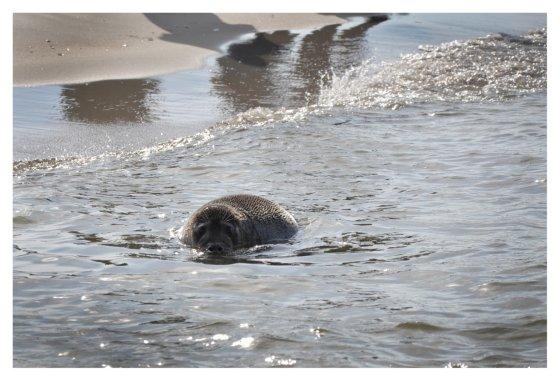 P. Kulikov nuotr. /Į atvirą jūra palieti du jūrų muziejuje išauginti ruoniai