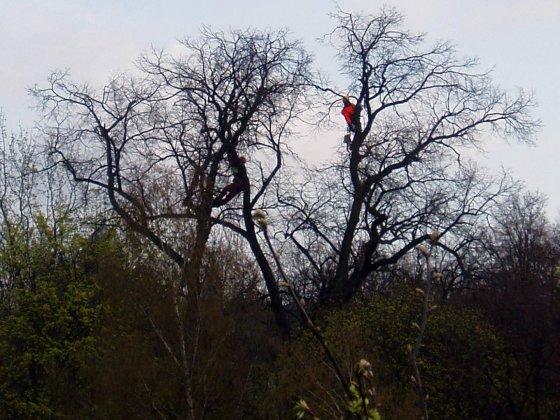 Aukštalipiai tvarko senąją liepą L. Sapiegos parke