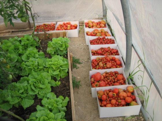 Ilzenbergo ūkio nuotr./Ilzenbergo ūkio pomidorai
