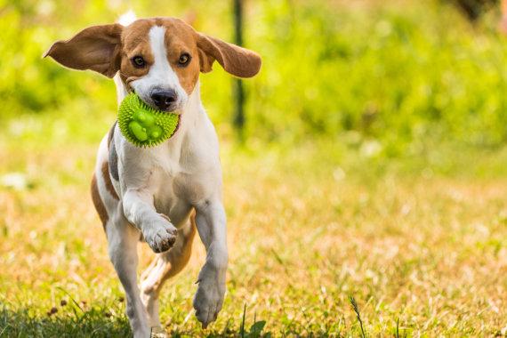 123RF.com nuotr./Šuo žaidžia