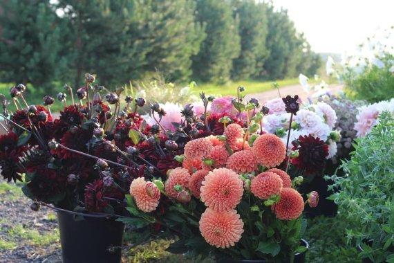 Asmeninio archyvo nuotr./Kurauskų gėlių ūkis