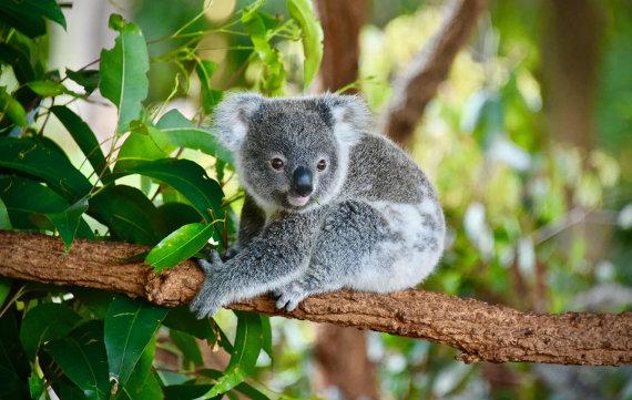 Shutterstock.com nuotr./Koala