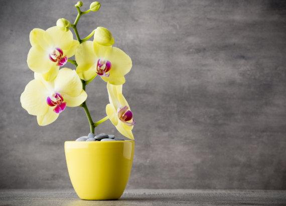 """""""Fotolia"""" nuotr./Geltona orchidėja"""