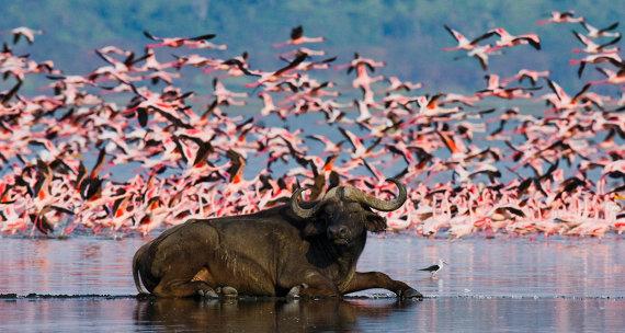 Shutterstock.com nuotr./Bisonas Nakuru ežero nacionaliniame parke