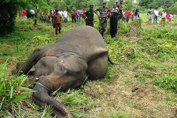 """AFP/""""Scanpix"""" nuotr./Negyvas dramblys Šri Lankoje"""