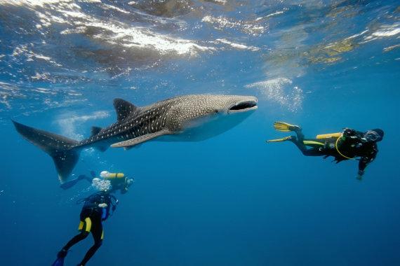 """""""Shutterstock"""" nuotr./Nardymas su bangininiais rykliais, Džibutis, Afrika"""