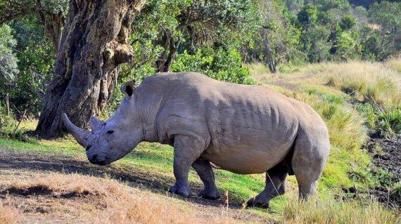 123rf.com /Raganosis Ol Pejetos gamtos rezervate Rytų Afrikoje