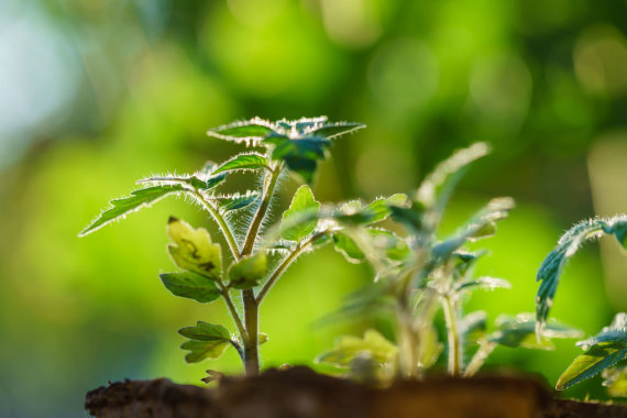 123RF.com nuotr./Pomidorų daigai