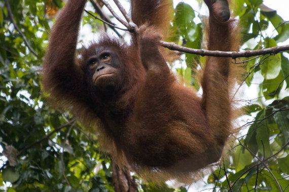 """Scanpix""/""Caters News Agency"" nuotr./Orangutanas"
