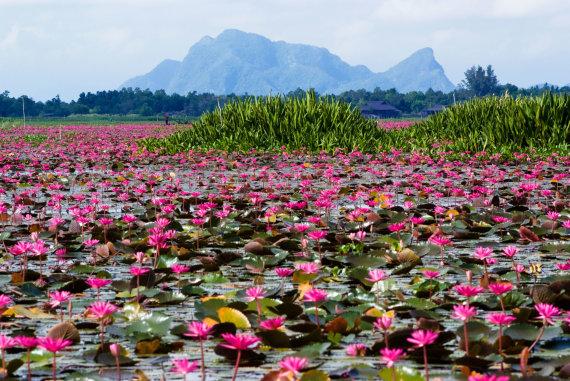 Vida Press nuotr./Svajingas lotosų ežeras Tailande