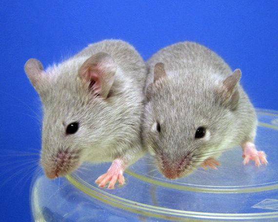 """AFP/""""Scanpix"""" nuotr./Klonuotos pelės"""